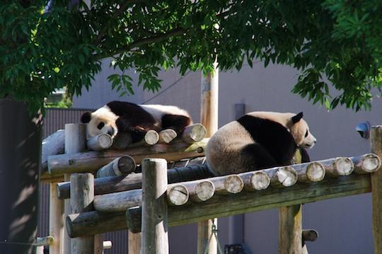 おやすみ中のパンダ.jpg