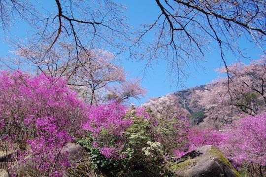 ミツバツツジと桜.jpg