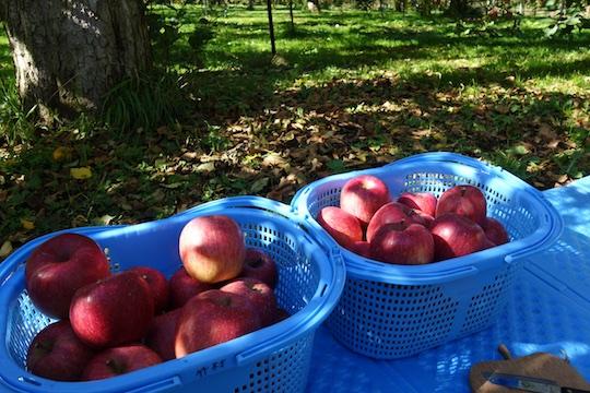 りんご収穫.jpg