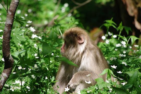 ニリンソウにたたずむお猿さん.jpg