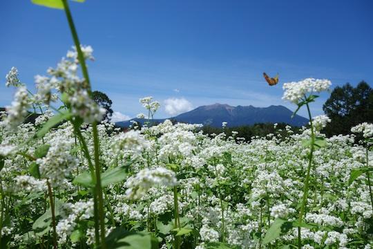 御嶽山とそばの花.jpg