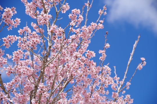 東海桜.jpg